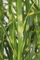 Chinaschilf Miscanthus sinensis 'Gold Breeze®'
