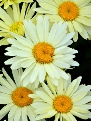 Creme farbende Margerite Leucanthemum maximum Broadway Lights Sommermargerite 19 cm Topf
