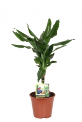 Drachenbaum 'Janet Lind' - Dracaena fragrans