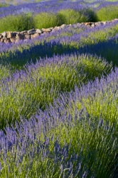 Echter Lavendel blau - Lavandula angustifolia