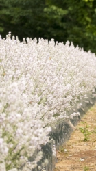 Echter Lavendel weiß - Lavendula angusifolia