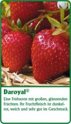 Erdbeerpflanze - 6 Stück  Daroyal Fragaria ananassa