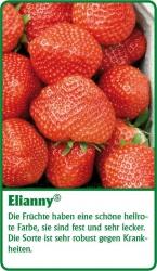 Erdbeerpflanze - 6 Stück Elianny Fragaria ananassa