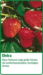 Erdbeerpflanze - 6 Stück Elvira Fragaria ananassa