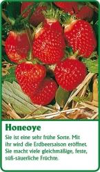 Erdbeerpflanze - 6 Stück Honeoye Fragaria ananassa
