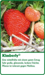 Erdbeerpflanze - 6 Stück Kimberly Fragaria ananassa