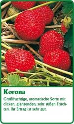 Erdbeerpflanze - 6 Stück Korona Fragaria ananassa