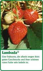 Erdbeerpflanze - 6 Stück Lambada Fragaria ananassa