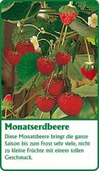 Erdbeerpflanze - 6 Stück Monatserdbeere