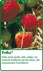 Erdbeerpflanze - 6 Stück Polka Fragaria ananassa