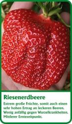 Erdbeerpflanze - 6 Stück Riesenerdbeere