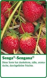 Erdbeerpflanze - 6 Stück Senga Sengana® Fragaria ananassa