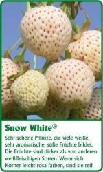 Erdbeerpflanze - 6 Stück Snow White Fragaria ananassa