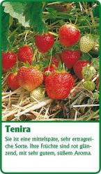 Erdbeerpflanze - 6 Stück Tenira Fragaria ananassa