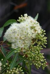 Eucalyptus Hochstamm
