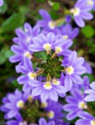 Fächerblumen Brillant - Scaevola
