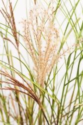 Feinblatt Chinaschilf Miscanthus sinensis 'Kleine Silberspinne'