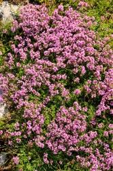 Feldthymian Bodendecker 3 er Set - Thymus rotundifolius