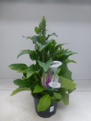 Fingerhut Digitalis purpurea 2 farbig