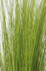 Frauenhaargras Stipa tenuissima 'Ponytails'