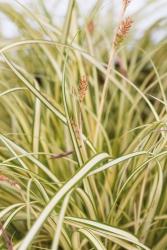 Garten Segge Carex oshimensis 'Evergold'