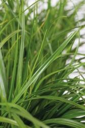 Garten Segge Carex oshimensis 'Green Wonder'