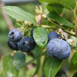 Gartenheidelbeere - Bluecrop® Vaccinium corymbosum