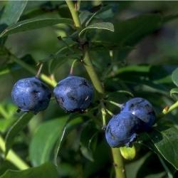 Gartenheidelbeere - Hardyblue® Vaccinium corymbosum