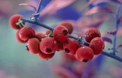 Gartenheidelbeere - Pink Lemonade® Vaccinium corymbosum