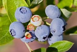 Gartenheidelbeere - Sunshine Blue® Vaccinium corymbosum
