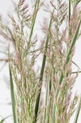 Gestreiftes Reitgras Calamagrostis x acutiflora 'Overdam'
