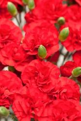 Hänge-Nelken dunkel rot - Dianthus caryophyllus