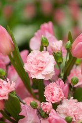 Hänge Nelken rosa - Dianthus caryophyllus