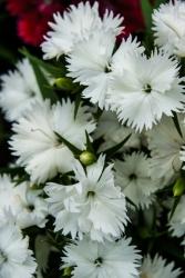 Hänge Nelken weiß - Dianthus caryophyllus