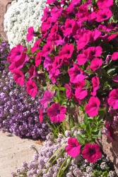 Hänge-Petunie - rosa