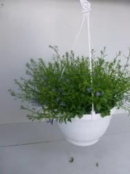 Hängelobelie Ampel blau Lobelia richardii