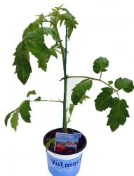 Herz-Tomate 'Evita®'