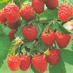 Himbeere - Aroma Queen® Rubus idaeus