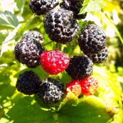 Himbeere - Black Jewel® Rubus idaeus