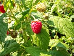 Himbeere - Himbo-Top®  Rubus idaeus