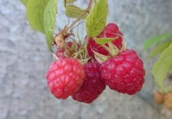 Himbeere - Rubaca® Rubus idaeus
