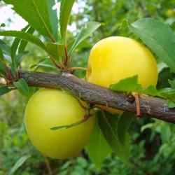 Japanischer Pflaumenbaum - Shiro gelb, groß