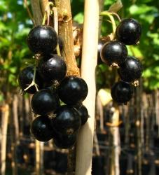 Johannisbeere - Black Giant, schwarz® Ribes rubrum