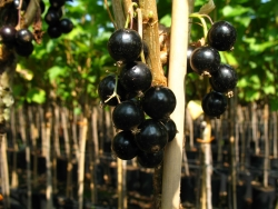 Johannisbeere - Bona® Ribes rubrum