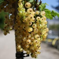 Johannisbeere - Jüterbog® Ribes rubrum