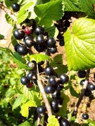 Johannisbeere - Titania® Ribes rubrum
