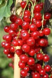 Johannisbeere - Traubenwunder® Ribes rubrum