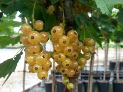 Johannisbeere - Weiße Versailler® Ribes rubrum