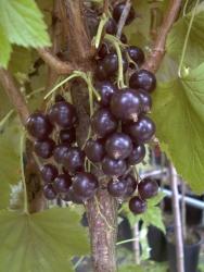 Johannisbeere - Wellington XXX® Ribes rubrum