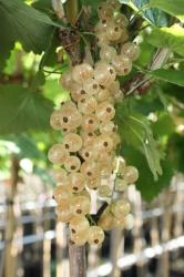 Johannisbeere - Werdavia® Ribes rubrum